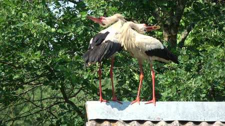 migrants : Pair white storks Ciconia ciconia chattering clattering on farm barn old roof