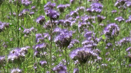 опылять : Phacelia flowers Phacelia tanacetifolia and bees in summer time Стоковые видеозаписи