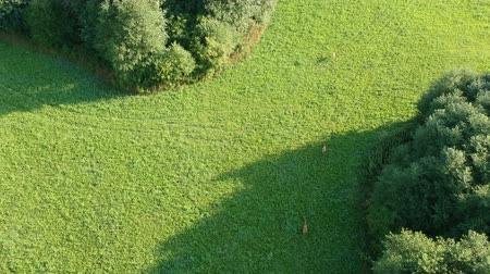 geyik : three roe deer running on green summer morning meadow, aerial view