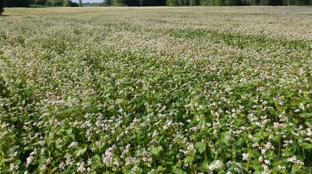 trigo sarraceno : blossoming buckwheat field in summer time, aerial view