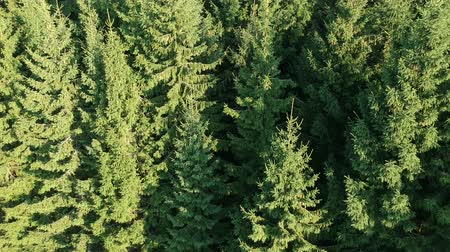 Coniferous wood fir forest background from drone, aerial view Stockvideo