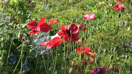 sabão : Blossoming poppies and soap bubble in wind