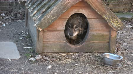 прикован : Old lonely dog in dog house