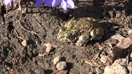 bufo viridis : European green toad Bufo viridis in  spring near  hepatica flowers