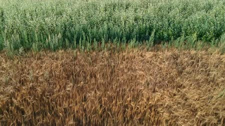 trigo sarraceno : Ripening golden barley and green blossoming buckwheat fields, aerial view