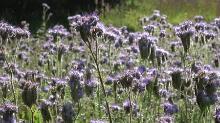 lacy : Phacelia flowers Phacelia tanacetifolia and bees in summer