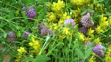 homeopathic : medical herbs flowers rotating background - St John's wort and  clover