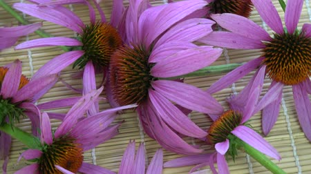 homeopathic : Rotating fresh echinacea coneflower medical flowers on bamboo mat