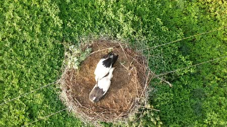 ciconiidae : white stork Ciconia juvenile birds in nest on electricity pole, aerial view