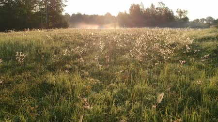 паук : Beautiful sunrise time meadow with many dewy spider webs from drone Стоковые видеозаписи
