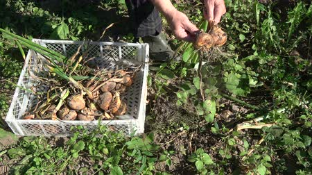 Gardener harvesting onion bulbs in summer end garden