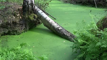 Green water with duckweed in swampy birch forest