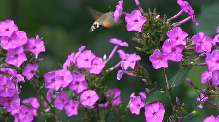hummingbird : Beautiful summer butterfly Hummingbird Hawk-moth Macroglossum stellatarum  in motion near garden flowers