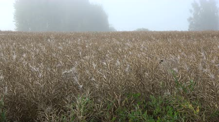 паук : Ripe rapeseed field in summer end morning and many spiderwebs on pods with seeds