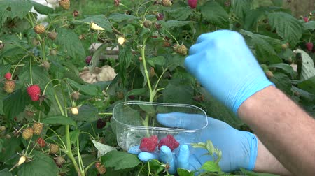 冷蔵する : Gardener hands pick harvesting fresh raspberries in small plastic container for refrigerate freeze