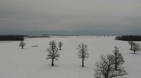 litvánia : Winter field with snow and many old oaks group, aerial view