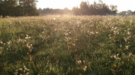 паук : Beautiful sunrise  meadow with dewy spider webs from drone Стоковые видеозаписи