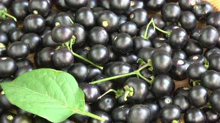 homeopatia : Black nightshade Solanum nigrum bayas fondo giratorio Archivo de Video