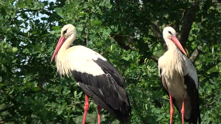 bird ecology : Pair white storks Ciconia in summer time nest