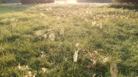 паук : Sunrise  time misty meadow with dewy spider webs from drone
