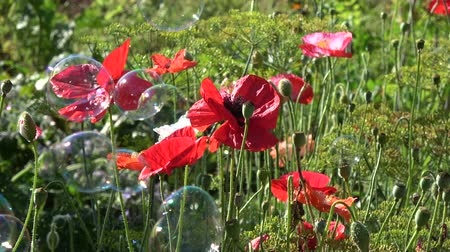 papavero : Beautiful poppies blossoms in garden and flying soap bubbles