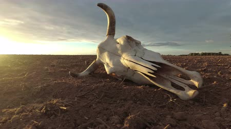 desolado : Cow skull on dry autumn agriculture field and morning sunrise light, time lapse Stock Footage