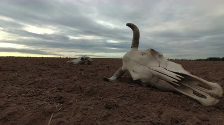 desolate : Cow skull on dry autumn agriculture field and rain clouds, time lapse