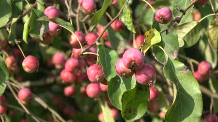 fruitful : Ripe crab apple fruits on branch in wind