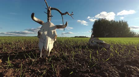 desolate : Cow skulls on agriculture field, time lapse