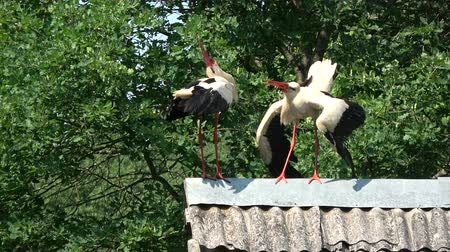 migrants : Pair white storks Ciconia ciconia chattering clattering on  old roof