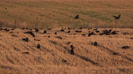 Big black birds flock on golden autumn wheat stubble field, rooks and jackdaws 動画素材