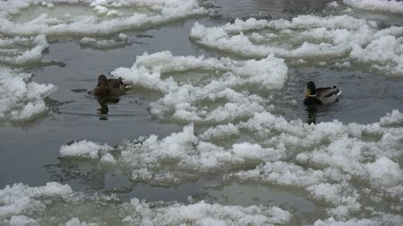 yeşilbaş : Pair mallard ducks on spring river water in ice drift time