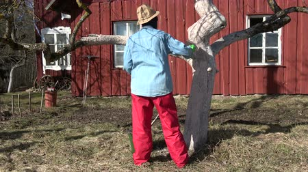 Gardener woman whitening old apple tree near farm house
