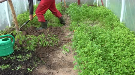 Gardener dig bury green manure mustard plants in autumn greenhouse