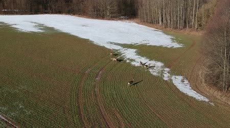 jikry : Wild animals roe deer group on farm field with last snow and wheat sprouts, aerial view Dostupné videozáznamy