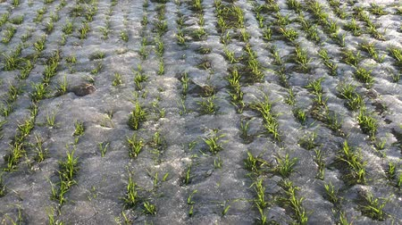 росток : Wheat sprouts in early spring ice and snow in wind, agriculture seasons background Стоковые видеозаписи