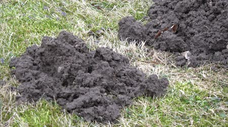 molehill : Many molehills on spring lawn, zoom out