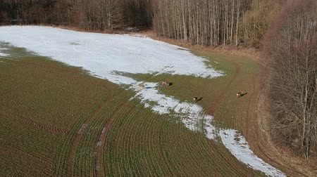 jikry : Roe deer group on farm field with last snow and wheat sprouts, aerial view Dostupné videozáznamy