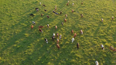 litvánia : Large Cows herd on green summer evening meadow, aerial view