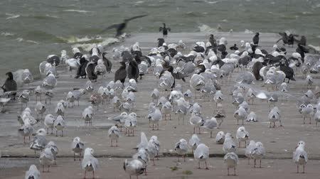 balti tenger : Many sea birds on concrete pier in wind