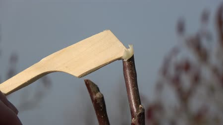 ferita : Protecting young apple tree wound after spring time pruning with garden wax