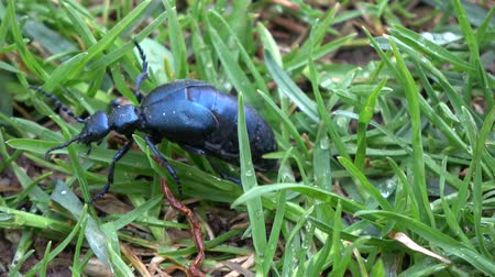 dewy : Insect European oil beetle Meloe proscarabaeus in spring green dewy grass