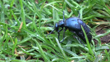 dewy : Insect European oil beetle Meloe proscarabaeus eating green grass in spring