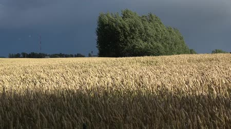 Summer end evening wind in ripe wheat field