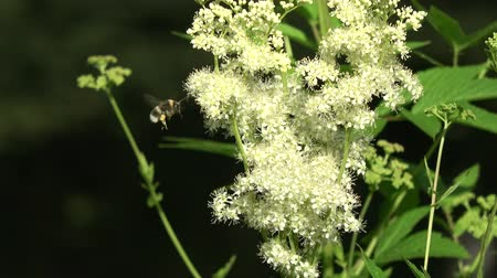 homeopathic : Summer time medical herb meadowsweet flowers and bumblebee