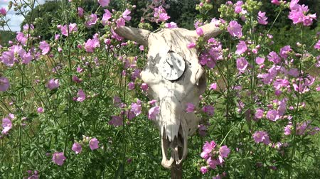 szkielet : Old cow skull with clock face and wind in garden flowers Wideo