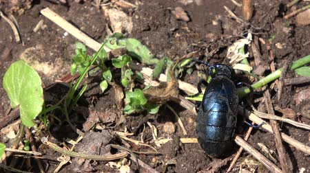 dewy : Insect European oil beetle Meloe proscarabaeus eating plant in spring