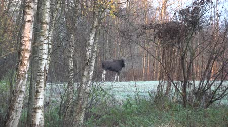 alce : Wild moose in autumn near forest and first frost