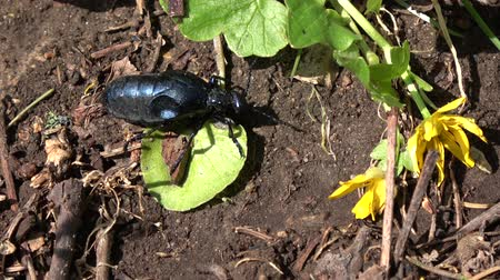 dewy : European oil beetle Meloe proscarabaeus eating plant in spring Stock Footage