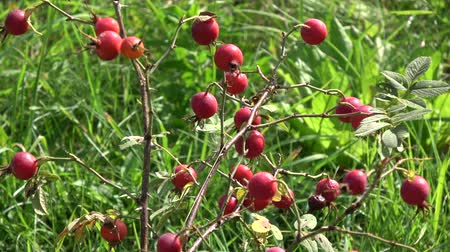 rosehip : Rosehips dogrose red fruits in autumn wind Stock Footage
